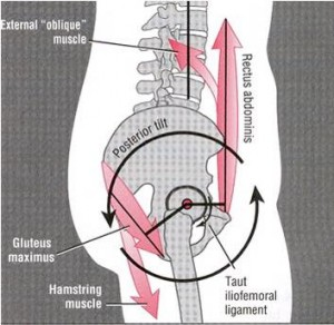 This image shows the structure of the hip joint and related muscles
